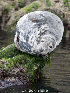 A grey seal basks on the rocks at St Tudwals Islands, Nor... by Nick Blake 